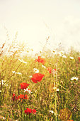 summer poppies - Stock Image - D9WC8T
