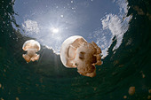 Mastigias Jellyfish in Backlight Mastigias papua etpisonii Jellyfish Lake Micronesia Palau - Stock Image - BAMGYJ