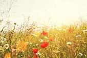 summer poppies - Stock Image - D9WC62
