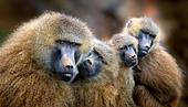 Guinea Baboon family, Cabarceno, Spain - Stock Image - CFHGW3