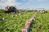 Belle Glade, Florida - Workers harvest celery at Roth Farms. - Stock Image - DTRW98