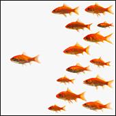 Goldfish - Stock Image - BMJ161
