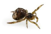 Hyptiotes paradoxus spider, family Uloboridae, on White Background. - Stock Image - A3G2NX