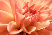 Close up of pink Dahlia flower - Stock Image - AA5PB7