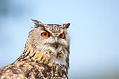 Close-up of a Eurasian Eagle- owl (Bubo bubo) showing head against a blue sky and cloud background - Stock Image - DAFTMK