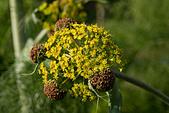 aplaceae ferula communis - Stock Image - B074T1