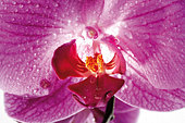 Orchid, Close up Orchideenblüte - Stock Image - AYWK6W