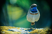 Bluethroat against an abstract background, Sweden. - Stock Image - BHH9JB