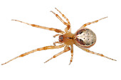 Zygiella Atrica spider on white background - Stock Image - AYRWG4
