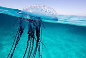 Over/under view of a Portuguese Man of War, a jelly-like marine invertebrate of the Family Physallidae. - Stock Image - C2A9RB