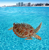 Green sea Turtle Caribbean sea surface Cancun Mexico Chelonia mydas - Stock Image - C1MEXH