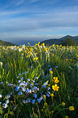 wild flowers growing at the Forca Canapine Monti Sibillini National Park Umbria Italy NR - Stock Image - ADCPCN