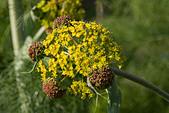aplaceae ferula communis - Stock Image - B074T0