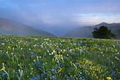 wild flowers growing at the Forca Canapine Monti Sibillini National Park Umbria Italy NR - Stock Image - ADCPBY