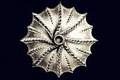 Thalamophora / Kammerlinge, Name Globigerina, Haeckel, Kunstformen der Natur, art nouveau, 20th century, Europe - Stock Image - B62YGT