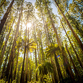 Lush green ferns, tree ferns and towering mountain ash along the Black Spur, Victoria, Australia - Stock Image - DXE06M
