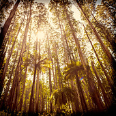 Lush green ferns, tree ferns and towering mountain ash along the Black Spur, Victoria, Australia filtered - Stock Image - DXE05A