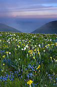 wild flowers growing at the Forca Canapine Monti Sibillini National Park Umbria Italy NR - Stock Image - ADCPBR