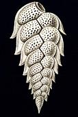 Thalamophora / Kammerlinge, Name Globigerina, Haeckel, Kunstformen der Natur, art nouveau, 20th century, Europe - Stock Image - B6241R