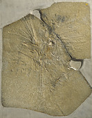 Archaeopteryx lithographica [London specimen] - Stock Image - DTGCR3