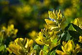 joseph dupouy nature petteria ramentacea cytise - Stock Image - B0N021