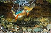Kingfisher / Alcedo atthis - Stock Image - CTJXFG
