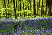 Dappled sunshine falls through fresh green foliage in a beechwood of bluebells in England, UK - Stock Image - CPECCH