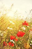 summer poppies - Stock Image - D9WCAE