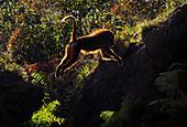 Guinea Baboon jumping, Cabarceno, Spain - Stock Image - CFHHCM