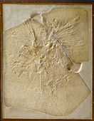 Archaeopteryx lithographica [London specimen] - Stock Image - DTF1T5