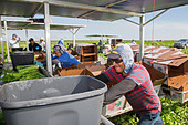 Belle Glade, Florida - Workers harvest celery at Roth Farms. - Stock Image - DTRW9N