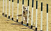 London, UK. 15th Dec, 2016. Olympia The London International Horse Show at Grand Hall Olympia London, UK. 15th Dec, 2016. the Kennel Club ABC Dog Agility Final © Leo Mason sports photos/Alamy Live News - Stock Image - HE025A
