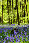 Dappled sunshine falls through fresh green foliage in a beechwood of bluebells in England, UK - Stock Image - CPEBXW