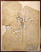 Archaeopteryx lithographica [London specimen] - Stock Image - DTFG19