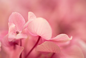 Close up of pink flowers of Hydrangea macrophylla flower - Stock Image - A67XNF